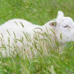 sheep-resting-in-the-green-grass