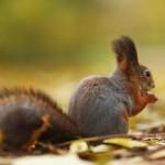 squirrel-in-autumn-forest