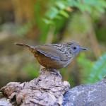 streaked-wren-babbler