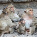 thai-asian-wild-monkey-doing-various-activities (1)