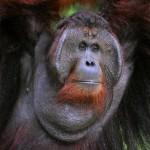 the-adult-male-of-the-orangutan (1)