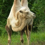 the-camel