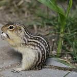 thirteen-lined-ground-squirrel