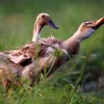 two-ducks-in-grass-field