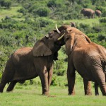 two-elephants-fighting-addo-elephant-national-park-south-afric