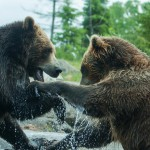 two-grizzly-brown-bears-fight