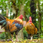two-jungle-chicken-at-the-garden