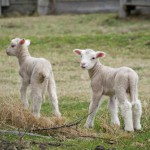 two-lambs-on-the-farm