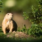 very-cute-black-tailed-prairie-dog-cynomys-ludovicianus