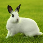 white-bunny-rabbit-outdoors-in-grass