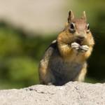 wild-chipmonk