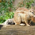 wild-rodent (1)