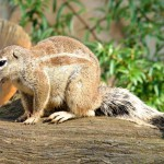 wild-rodent