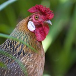 wild-rooster