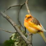 yellow-orange-canary