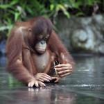 young-orangutan (1)