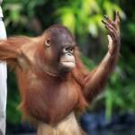young-orangutan
