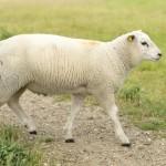 young-sheep-walking-on-path