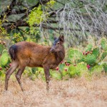 young-sika-deer