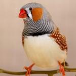 zebra-finch-male-bird